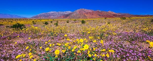 la floraison dans la death valley